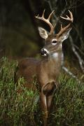 Whitetail Buck - stock photo