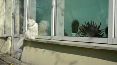 White old cat sit on conservatory sill butterfly fly Stock Footage