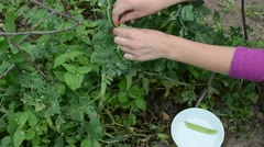 Woman female hand gather pick ripe pease in white dish Stock Footage