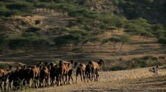 Tribesmen with camel herds Camel Fair, Pushkar, India Stock Footage