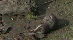 European otters playing Stock Footage