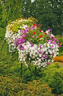 Stock photo of Petunia hanging baskets