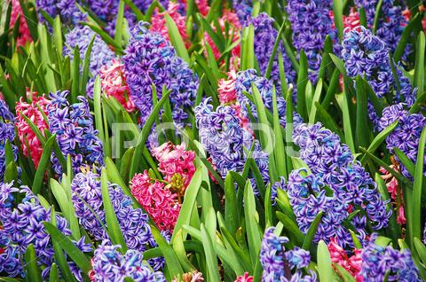 Stock photo of Hyacinth flowers