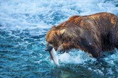 bear on alaska - stock photo