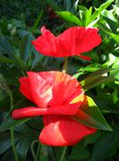 beautiful flower of the poppy - stock photo