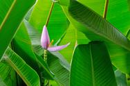 Banana flower Stock Photos