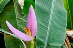 Stock Photo of banana flower