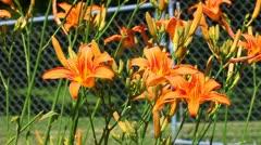 Orange Daylily (Hemerocallis fulva) Stock Footage