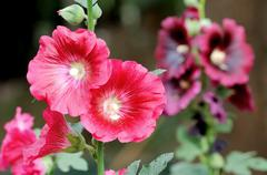 red hollyhock flower - stock photo