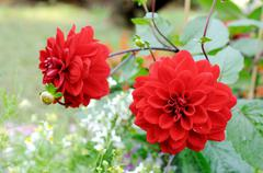 Stock Photo of red dahlia flowers