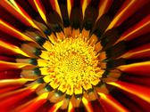 Stock Photo of Gazania flower macro