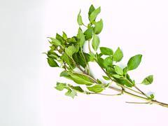 Bunch of sweet basil , ocimum basilicum,isolated on white background Stock Photos