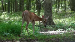 Mammoth Cave National Park Deer Clip 1 HD Stock Footage