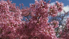 Prunus 'Okame' pink cherry blossoms pan left Stock Footage