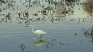 Egret Hunts Insects In Wetlands Stock Footage