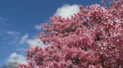 Prunus 'Okame' cherry blossoms pan pink blossom tree Stock Footage