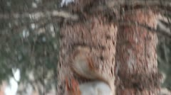 Squirrel jumps on the pine. Stock Footage