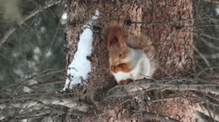 Squirrel sits on a pine and eats a nut. Stock Footage