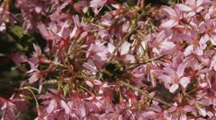 Bumblebee on Prunus 'Okame' cherry blossoms + flies off Stock Footage