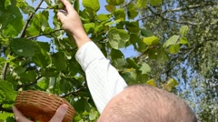 Man hand pick gather ripe hazel nutwood nuts nut-tree branch Stock Footage