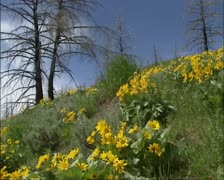 Yellow flowers of Balsamroot between dead trees from wildfire Stock Footage