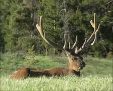 Wapiti bull velvet, ruminating -  low angle - stock footage