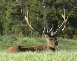 Stock Video Footage of Wapiti bull velvet, ruminating -  low angle