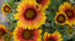 Gazania flowers in sun and shade Stock Footage