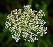 Tiny White Flowers - stock photo