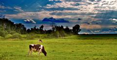 Cows in a Pasture - stock illustration