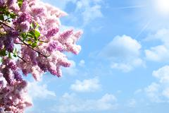 Lilacs tree against blue skies and sun, abstract backgrounds Stock Photos