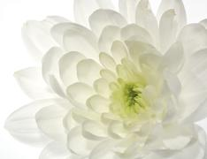 White chrysanthemum flower  abstract backgrounds Stock Photos