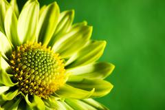 Chrysantemum flower over green backgrounds close-up shot with copy space Stock Photos