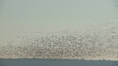 Snow Geese In Flight, Bird, Birds, Fly, Flying Stock Footage