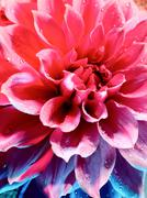 Beautiful lotus flower under the blue and red light Stock Photos