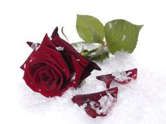 rred rose on the snow with water droplets on petals - stock photo