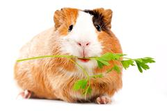 Lunch time. funny guinea pig portrait over white background Stock Photos