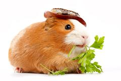 lunch time. funny guinea pig portrait over white background - stock photo