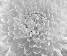 Dahlia flower black and white scanned closeup photo. shot with view camera. f Stock Photos