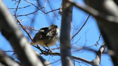 Song bird in tree 2 - stock footage