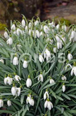 Stock photo of white snowdrop flowers