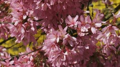 Bumblebee on Prunus 'Okame' cherry blossoms - Stock Footage