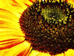 Sunflower. abstract natural backgrounds Stock Photos