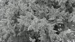 Many Snowed Fir Trees Twigs Winter Snowy Forest in a Fog Mystical Mystery Day Stock Footage