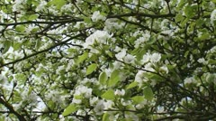 Pan + hold blossoms Chinese pear Pyrus ussuriensis Maxim. Stock Footage