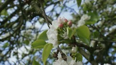 Chinese pear in bloom -Pyrus ussuriensis Maxim. Pyrus L. Stock Footage