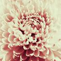 Dahlia flower black and white scanned closeup photo. Stock Illustration