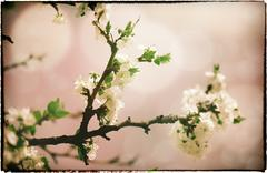 sakura flowers. abstract asian grungy backgrounds for your design - stock photo