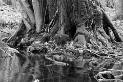 mighty tree trunk - stock photo