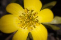 winter aconite - Eranthis hyemalis - stock photo